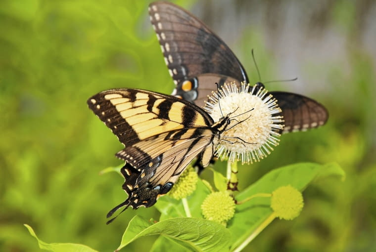 Kwiaty guzikowca są nawet liczniej oblegane przez owady niż rosnące w ich pobliżu budleje. Są więc cennym elementem motylich ogrodów. Na zdjęciu nektar spijają motyle chronionego w Polsce pazia żeglarza.