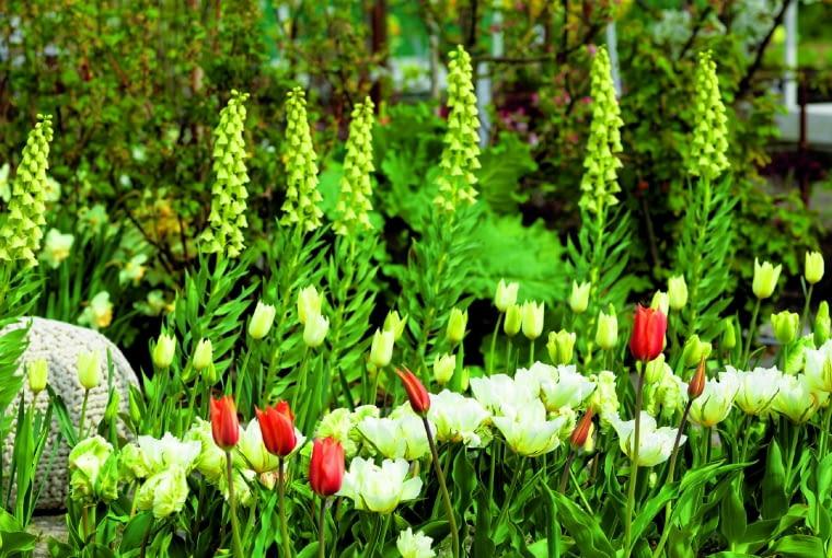 """Szachownica perska """"Ivory Bells"""" efektownie prezentuje się w szpalerze niższych kwiatów."""