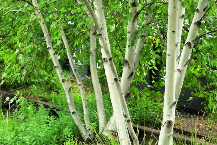 Zamiast pociągu na torach można podziwiać brzozy otoczone kępami trawy kostrzewy.