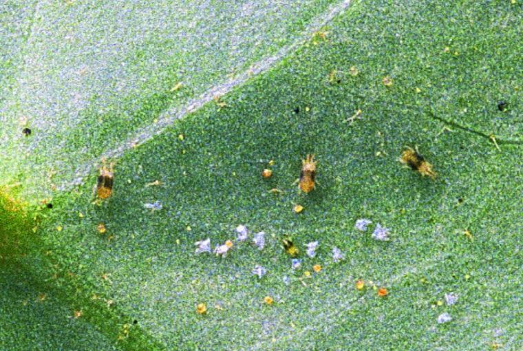Pod lupą na liściach widać przędziorki, ich wylinki oraz jaja.