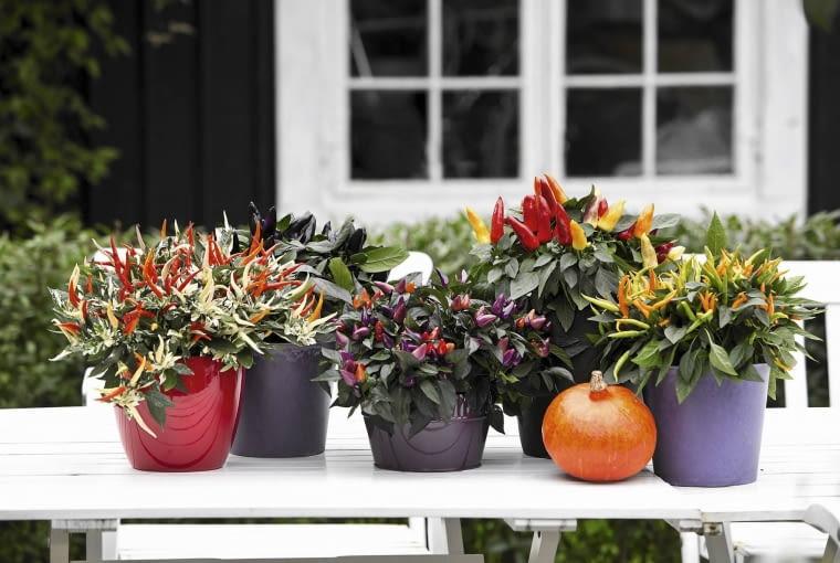 Owoce papryczek ozdobnych są różnokolorowe. Przed nadejściem przymrozków rośliny trzeba zabrać do domu (można je wykorzystać do potraw).
