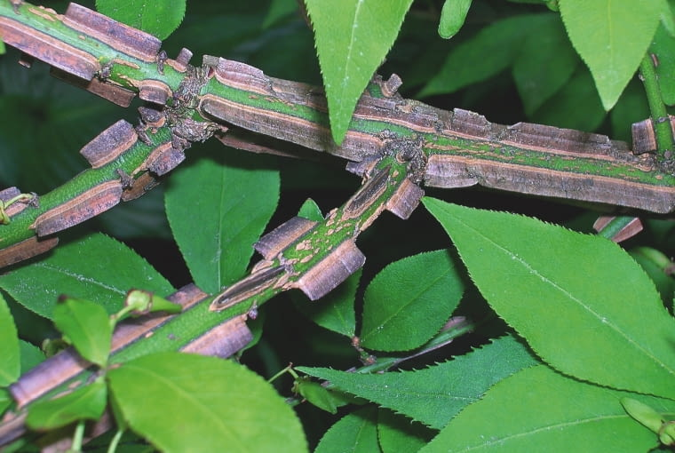 NIEZDREWNIAŁE ZIELONE PĘDY latem przybrane są w szaro- brązowe paseczki szerokich korkowych skrzydełek.