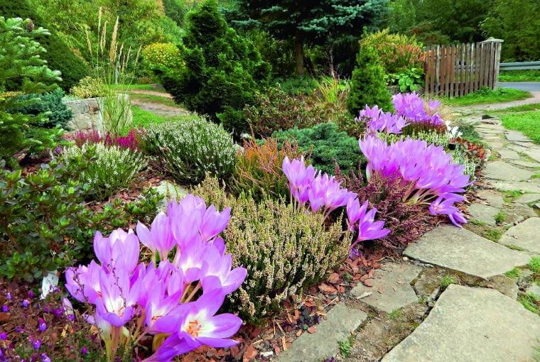 Wrzosowisko cieszy oczy już u progu jesieni. Urozmaicają je kwiaty zimowitów.