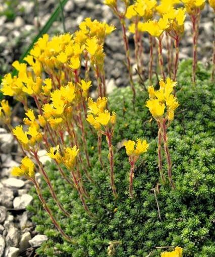 Skalnica Saxifraga sancta. Rośliny na skalniaki