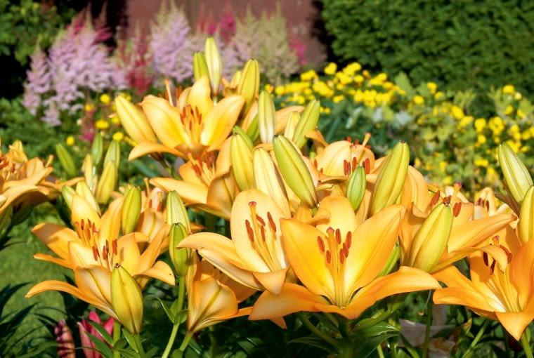 Wyniosłe lilie w czerwcu i lipcu ożywiają kwiatowe rabaty.