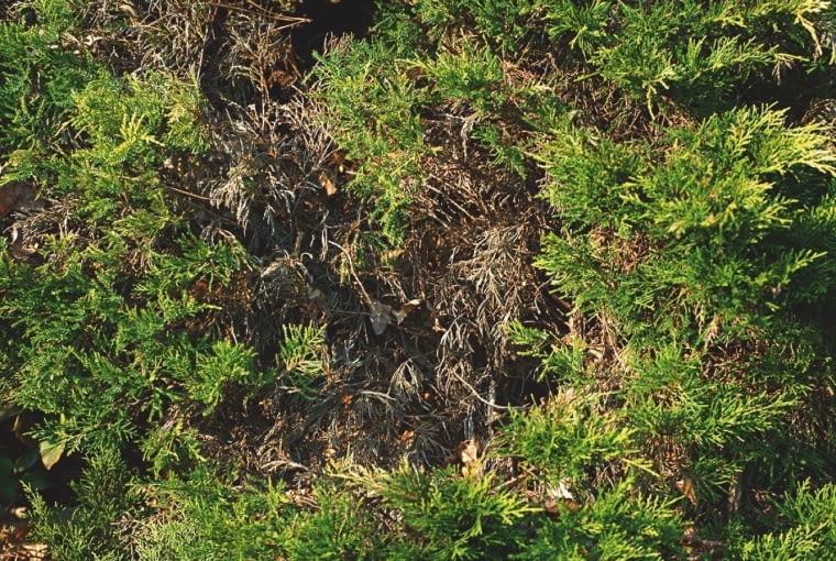 ZBRĄZOWIAŁE IGŁY i szary pylący nalot na pędach jałowca. Przyczyna: szara pleśń.