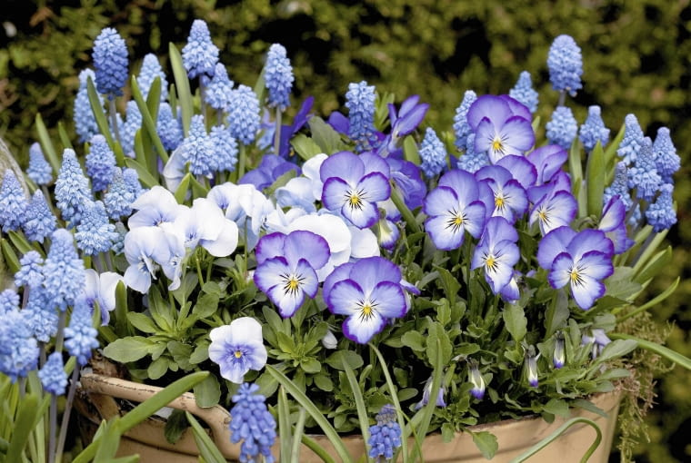 01ABN62A; Muscari and pansies in bloom in a pot in a garden SLOWA KLUCZOWE: