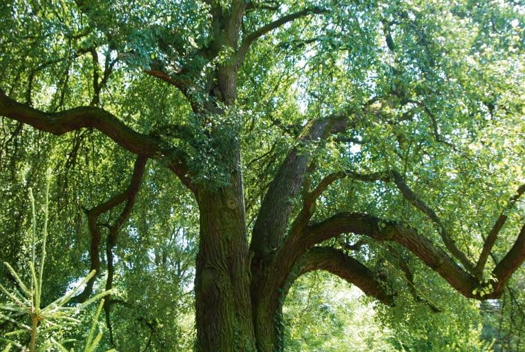 Imponująca polna grusza bez wątpienia jest najstarszym drzewem w okolicy, kto wie czy nie powinna zostać oficjalnie uznanym pomnikiem przyrody.