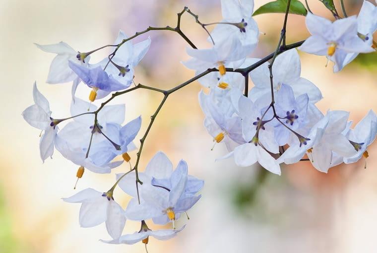 Kwiaty psianki jaśminowej
