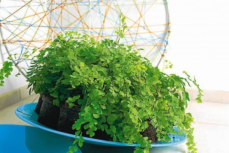 Roślina dobra do łazienki - adiantum
