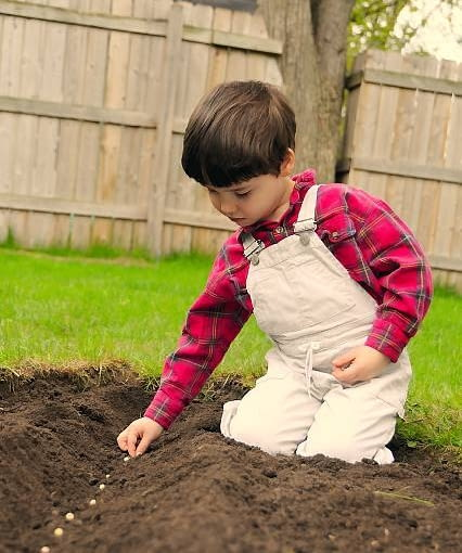 Pod koniec marca lub na początku kwietnia wysiewamy do gruntu groszek jadalny. Duże nasiona rozmieszczamy pojedynczo w rządkach