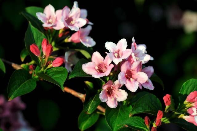 Kolkwicja chińska to kilkumetrowy krzew. W maju przypomina różową chmurę.