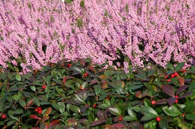 Wrzos pospolity (Calluna vulgaris) 'Annemarie'