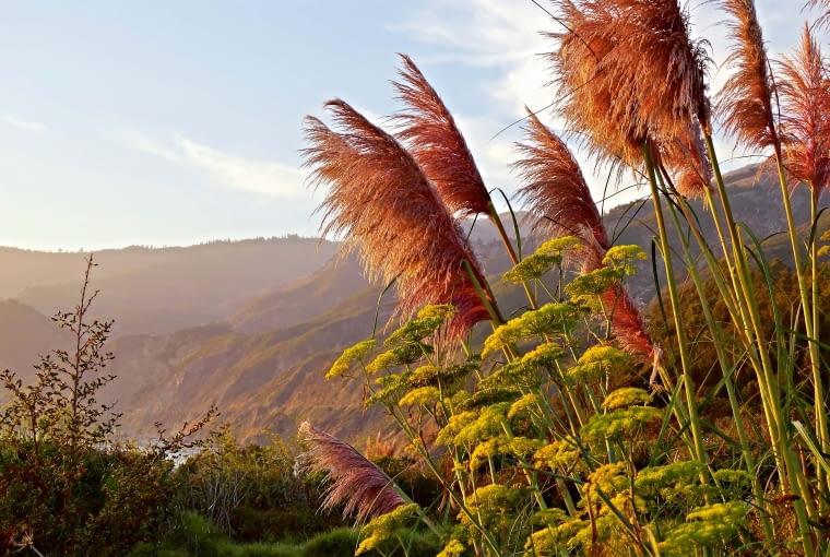 Pióropusze trawy pampasowej porastają zbocza Andów (Ameryka Południowa).