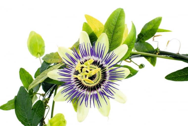 MĘCZENNICA BŁĘKITNA ma delikatne pędy i liście, ale kwiaty są spore, o średnicy 7-10 cm. Niestety, u tego gatunku właściwie nie pachną.