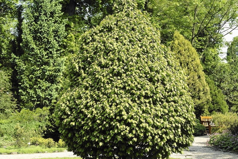 01A95CYH Carpinus betulus Fastigiata SLOWA KLUCZOWE: