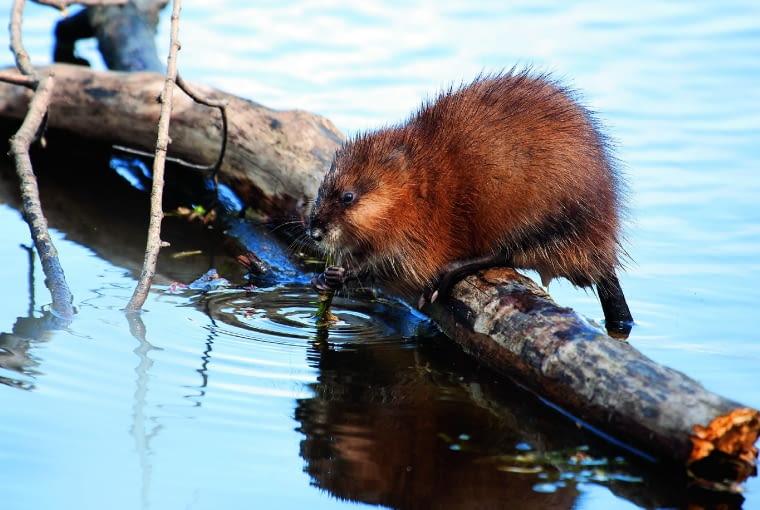 Piżmak amerykański, zwany także szczurem piżmowym, to w ogrodzie gość rzadko spotykany.