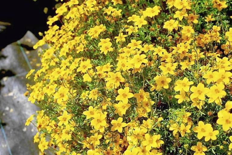 uczep rózgowaty, bidens, kwiaty balkonowe BALKON ROSLINY KWIATY UCZEP ' SOLAIRE COMPACT ' FOT. SYNGENTA SEEDS PUBLIKACJA KWIETNIK NR 6 (162) - 6 2008 SLOWA KLUCZOWE: ROSLINY KWIATY ZDJĘCIE DO WKŁADKI: PUBLIKACJA KWIETNIK NR 6 (162) - CZASOPISMA