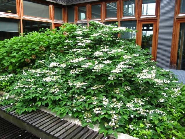 Te krzewy rosna w duzym pojemniku na patio. Maja po kilkanaście lat i pieknie sie rozrosły. Na pierwszym planie kalina japońska, na drugim hortensja 'Anabelle'