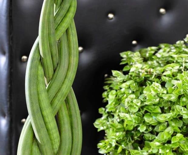 Sansevieria cylindrica SLOWA KLUCZOWE: Bogenhanf Zimmerpflanze eingetopft gr´n krumm verbogen Hochformat