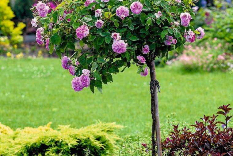 proj ogrodu Karol Flak hr-a SLOWA KLUCZOWE: roza angielska