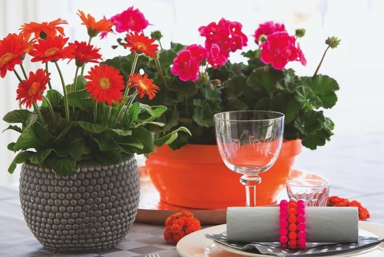 Gerberomi pelargoniom podczas zimowego kwitnienia zapewniamy temp. 15- 18°C i jasne miejsce.