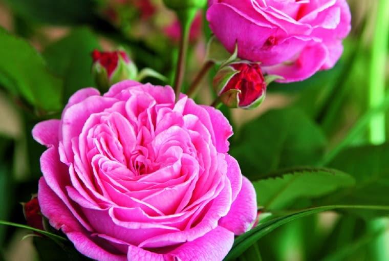 'RosengrÄfin Marie Henriette' - róża rabatowa, wys. 80 cm, kwiaty o średnicy 10 cm, trwałe nawet w czasie deszczu.