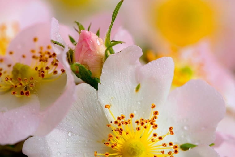 Kwiaty róży dzikiej rozwijają się po kilka na końcach pędów.