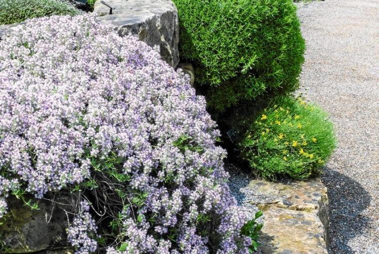GĘSIÓWKA w pełni kwitnienia mocno rozrośnięta zwiesza się z kamieni.