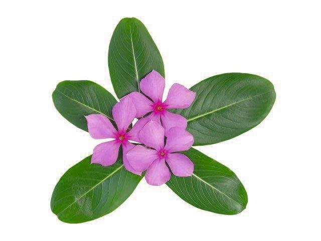 Typowy barwinek różowy ma dość luźny pokrój. Wierzchołki jego licznych gałązek wyglądają jak małe bukieciki.