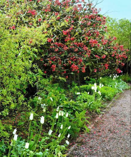 Cothay Manor Garden (Somerset) in spring (Robb) Old Chaenomeles bush,(PR available) SLOWA KLUCZOWE: Blume Bl´te Bl´tenblatt Chaenomeles Florales Fr´hling Quitte bl´hen bl´hend floral gebl´mt in Bl´te rot wachsen Hochformat
