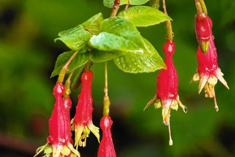 Fuksja (FUCHSIA SPLENDENS) o wzniesionych pędach osiąga 0,5-1 m wysokości. Jej kwiaty mogą mieć długość 3,5-7 cm.