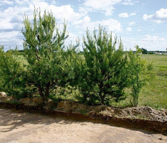 drzewa na działce