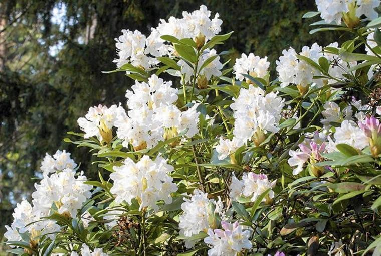 Różanecznik 'Cunningham's White' (Rhododendron). Rośliny kwitnące dwukrotnie w ciągu roku