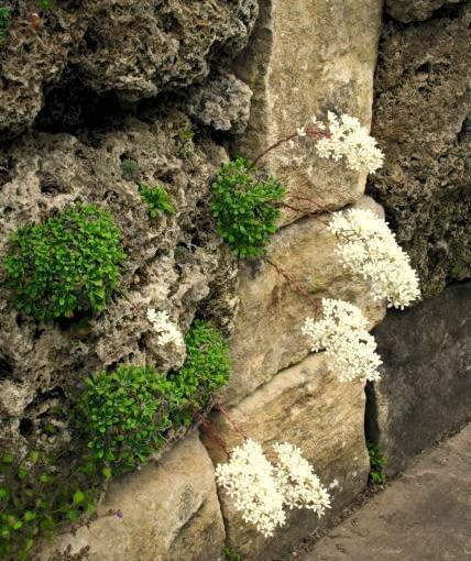 Skalnica liścieniolistna. Rośliny na skalniaki