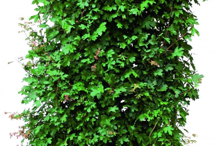 Klon polny (Acer campestre)