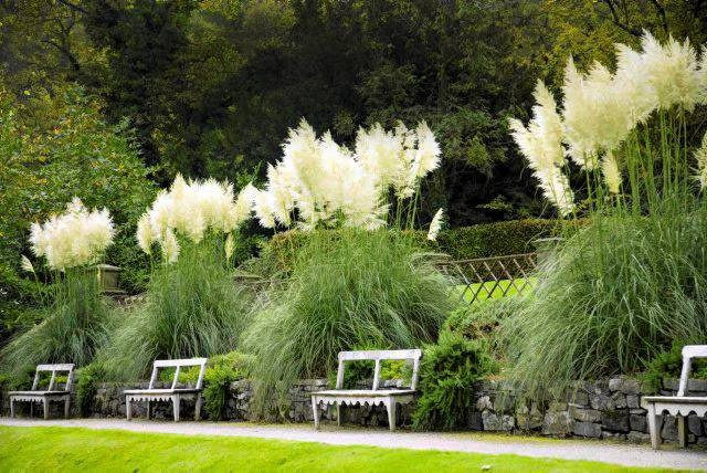 Tall striking pampas grasses (Cortaderia selloana), The Autumn Garden, Ilalm Hall, Derbyshire, UK
