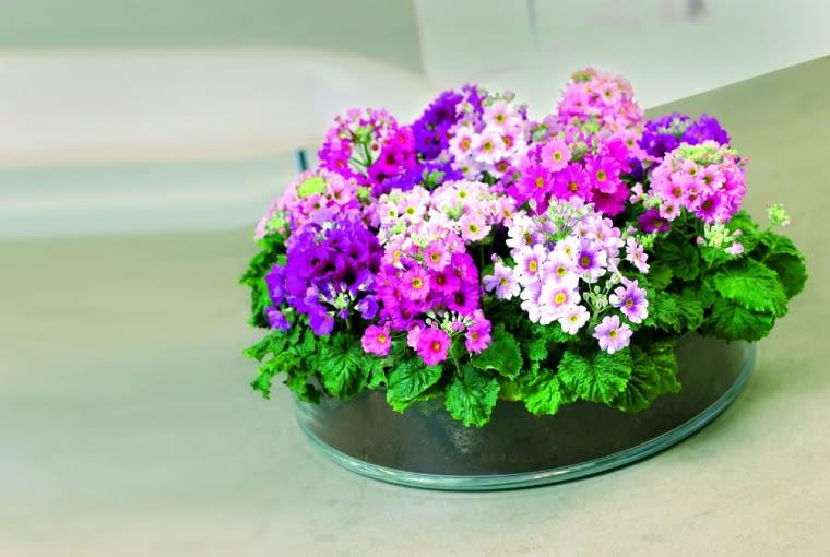 """pierwiosnek ślimakowaty """"Prima Carmina Rose"""" ma zwarty pokrój i osiąga wysokość 15-20 cm. Jego kwiaty przyjemnie pachną."""