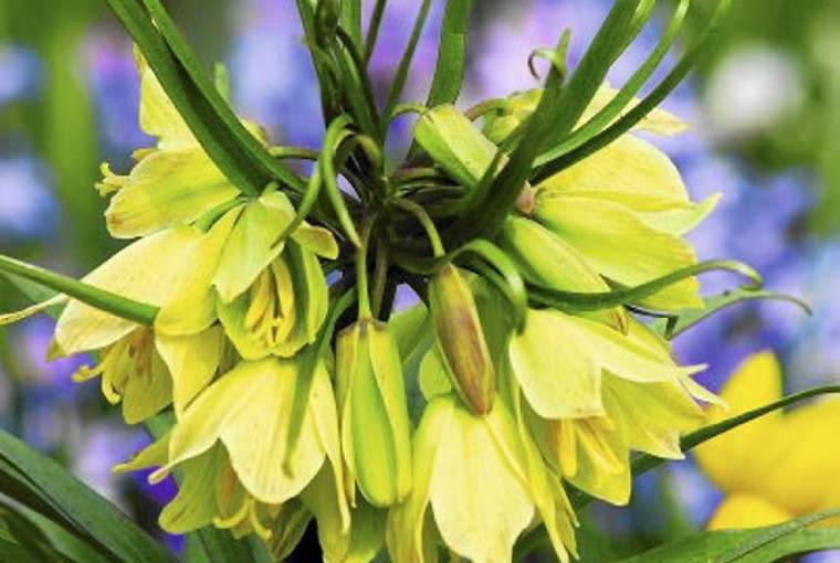 Kwiaty cebulowe. Szachownica cesarska (1), nazywana cesarską koroną, zakwita w maju.