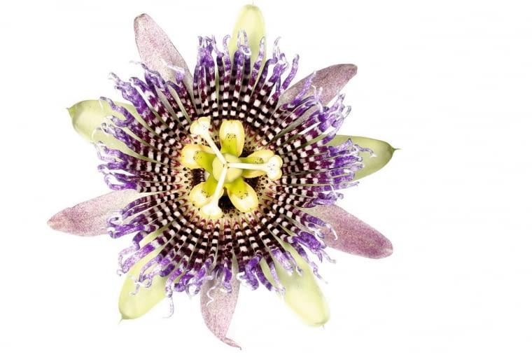 Japończycy uważają, że kwiat passiflory przypomina tarczę zegara