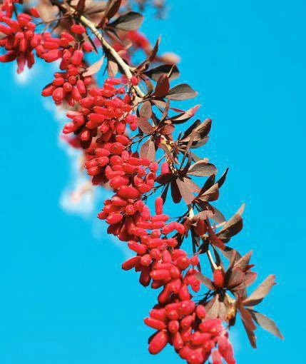 autumn branch of berberis with ripe red fruits against blue sky SLOWA KLUCZOWE: autumn barberries barberry beauty berberis berries berry blue botany branch bush colorful decoration europe fall fresh fruit garden leaf nature october outdoor outside park plant red ripe seasonal seed september sky thorn wild shrub