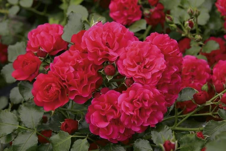 Róża okrywowa Gärtnerfreude.