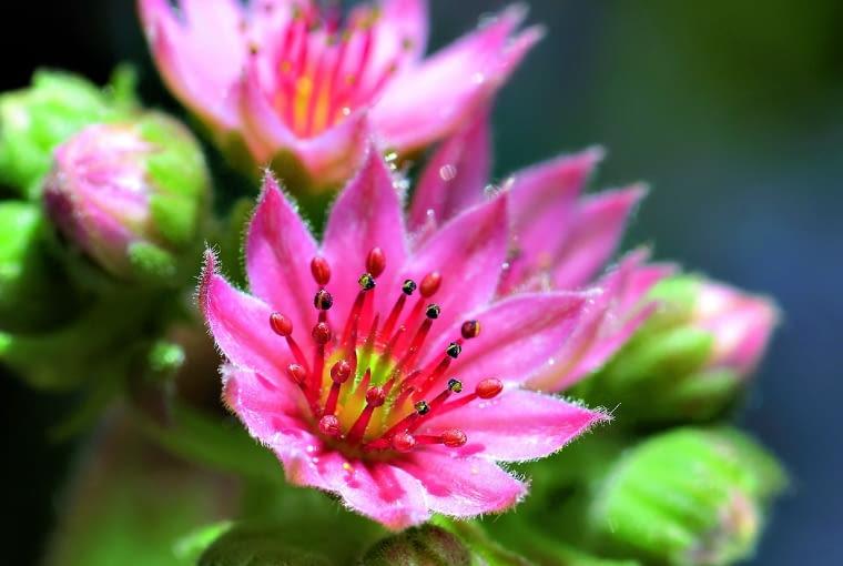 lato: Gwiazdki różowych, purpurowych i fioletowych kwiatków mają do kilkunastu płatków. Ozdobione są też pękiem pręcików. Osiągają średnicę 1 cm.