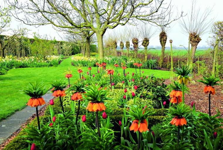 Okazy Korony cesarskiej nie powinny rosnąć w ścisku. Sadzi się je luźno, a miejsca pomiędzy nimi wypełnia np. tulipanami.