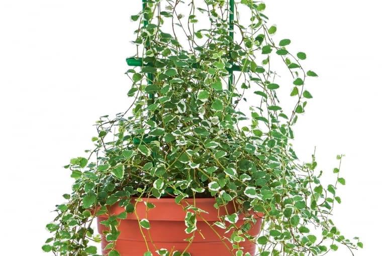 Fikus pnący (Ficus pumila) 'Variegata'