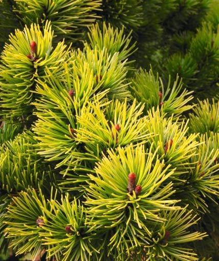 Odmiana sosny górskiej (kosodrzewiny) 'Ophir'