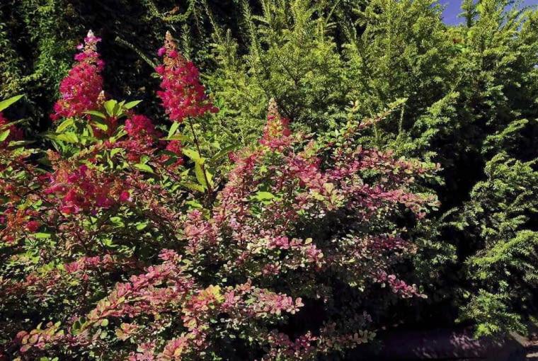 BERBERYS THUNBERGA 'ROSE GLOW' dobrze komponuje się z hortensją bukietową. Latem kontrastują ze sobą, a jesienią przybierają podobne barwy