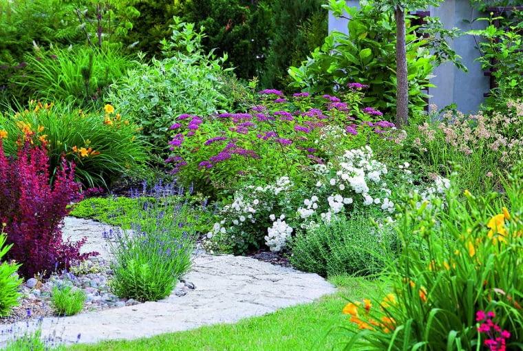 Kolorowy przedogródek, a w nim niezawodne liliowce 'Stella d'Oro', tawuły japońskie 'Froebelii' i białe róże okrywowe 'Alba Meidiland'.