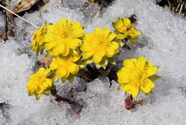 Kwiaty Rannika (Eranthis) mają wysokość 5-15 cm, utrzymują się od lutego do końca marca.