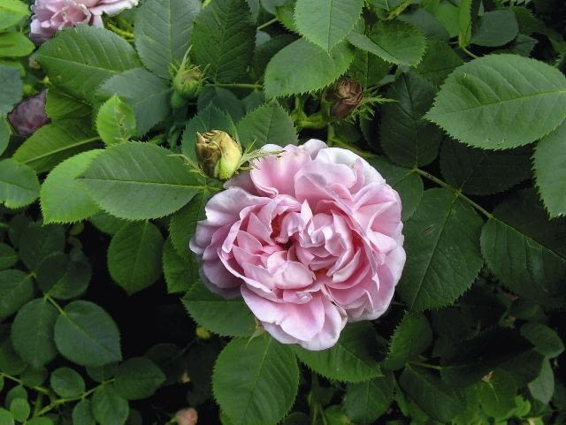 Róża portlandzka 'Jaques Cartier'